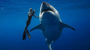 A shark said to be Deep Blue, one of the largest great whites on record, swims off Hawaii, January 15, 2019